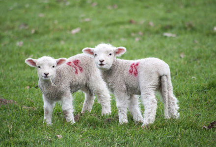 image for Animal Cloning: Yay or Nay?